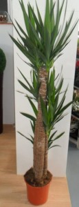 Yucca Elephantipes: Yuca de interior